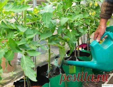 А вот и несколько секретов по выращиваю томатов на ваших приусадебных участках.