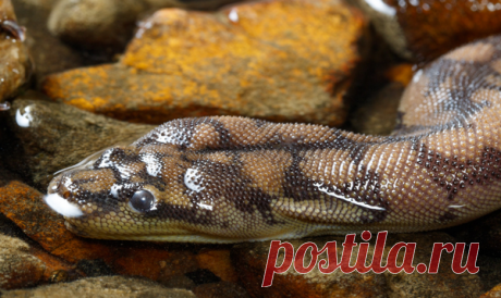 Арафурская бородавчатая змея — описание, образ жизни
