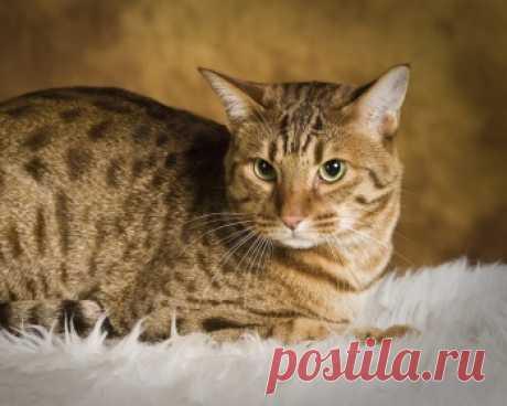 Оцикет - маленький кот, который напоминает южноамериканского дикого кота Оцелота, однако, это домашнее животное. Порода любит гулять на поводке, а также их можно научить некоторым несложным командам.