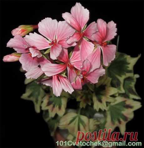 Фотографии пестролистных пеларгоний - Все о комнатных растениях на flowersweb.info