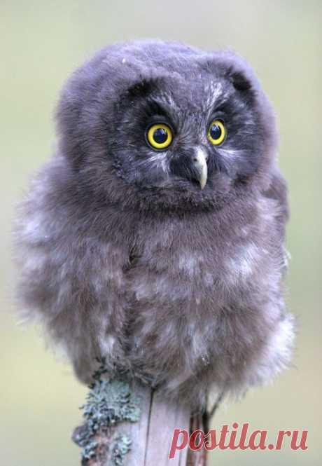 Baby Tengmalm's owl | Семейство совиных