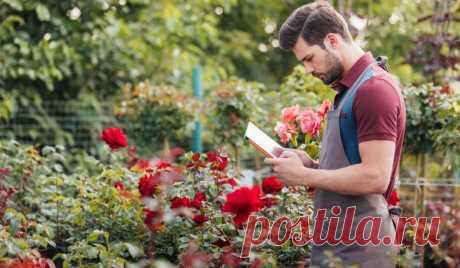 Почему розы нельзя поливать весной / Домоседы