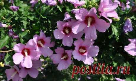 Садовый гибискус Гибискус, цветок, который у многих цветоводов прочно ассоциируется с комнатным растением «Китайская роза». Увидев же на садовом участке пышные кусты, густо усеянные огромными «граммофонными трубами» ярко-красного, оранжевого, малинового и т.д. цвета, для них становится откровением, что это тоже гибискус. А ведь садовый гибискус не такой уж и экзот. Он давно и успешно выращивается цветоводами – любителями. При этом он успешно растет и в Крыму, и в Подмосковье.