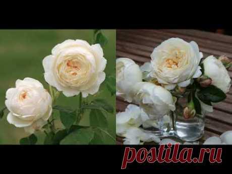 Садовые розы трех сортов.