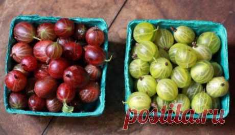 Выращивание крыжовника без химии: полив, подкормки — Садоводка