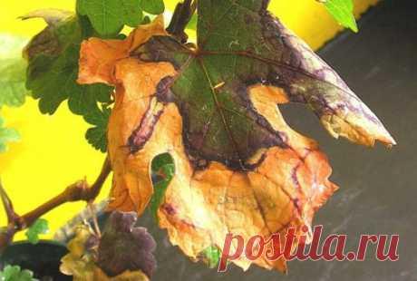 Болезни винограда: фото, лечение, описание, как выглядят на листьях, виды, видео Болезни винограда: какими бывают, грибковые и вирусные, симптомы и лечение. Недуги неинфекционного происхождения, правила профилактики.