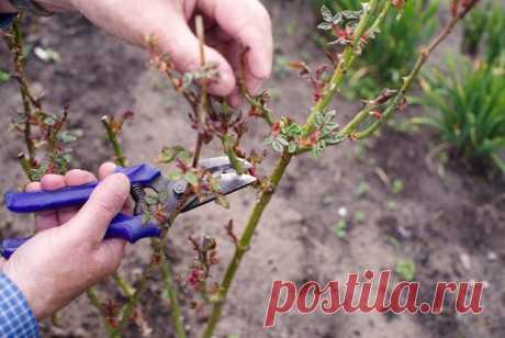 Как выращивать розы в тени и полутени | Розы (Огород.ru)