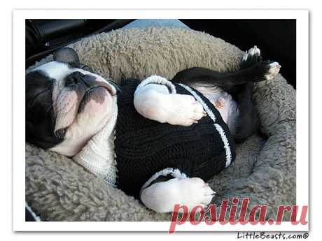 Boston Terrier Photo of the Week Caption Contest Winners - Rocky