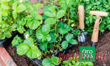Размножение безусой садовой земляники | В саду (Огород.ru)