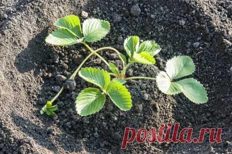 Не было хорошего урожая клубники, пока не узнала секрет весенних подкормок | 6 соток