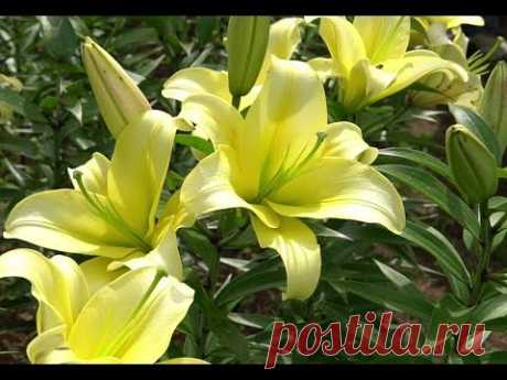Советы по выращиванию лилий от опытного садовода