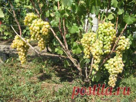 Восстановление кустов винограда с нуля  Как ни странно, зима в этом году была очень теплая, но кусты, которые были плохо укрыты, сильно пострадали. Вымерзли и неукрытые относительно укрывные сорта. Например, полностью вымерз неукрытый на з…
