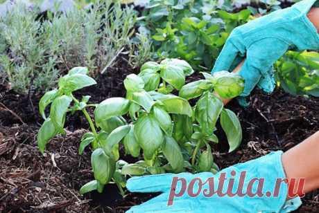 Вот что будет, если посадить базилик на одной грядке с перцем, помидорами и огурцами! Аллелопатия — это способность одних растений влиять на развитие других. Некоторые растения в процессе жизнедеятельности выделяют такие вещества, которые могут стимулировать рост и развитие их сородиче…