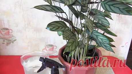 Как оживить ПОГИБАЮЩЕЕ комнатное растение!