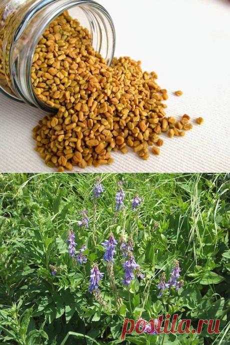 Полезные свойства растения хильба