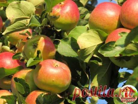 Вот как в два раза повысить урожай яблок  Полив Самый важный полив – в октябре. Он предотвратит иссушение ветвей в зимний период.  Поливать яблони можно разными способами:  поверхностным – полив по бороздам в междурядьях и по круговым канавкам по диаметру проекции кроны; дождеванием – веерными, импульсными и «пистолетными» дождевателями; капельным орошением – по системе труб-шлангов небольшого диаметра. Капельный полив − самый выгодный. Хотя бы потому, что есть возможность...