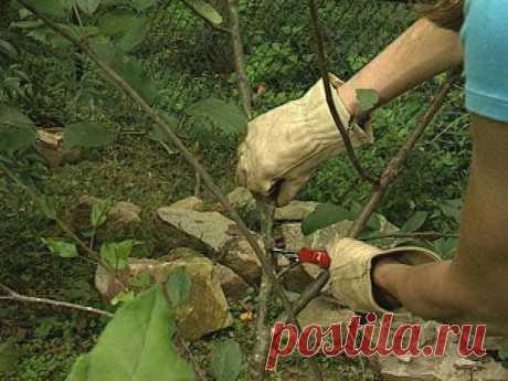 La cereza de Revna: la descripción de la clase, la foto, las revocaciones y los rasgos de la cultivación