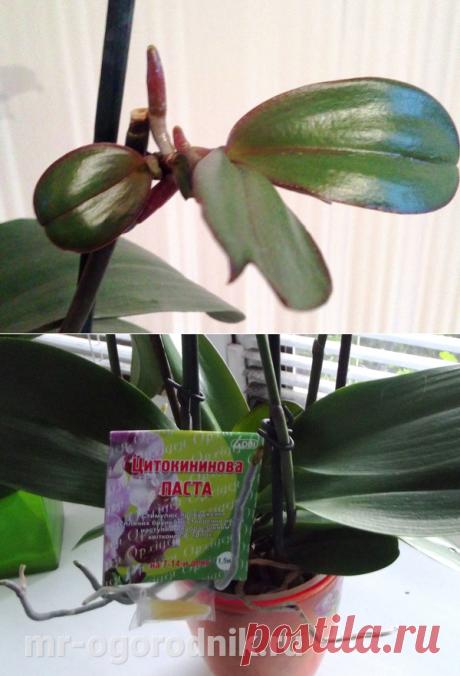 Как вырастить детки орхидеи фаленопсис - рекомендации