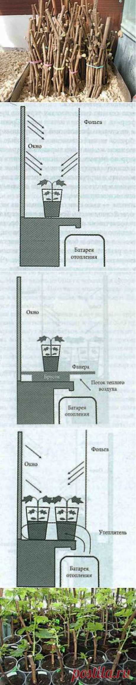 Подробно о выращивании черенков винограда в домашних условиях | Дача - впрок