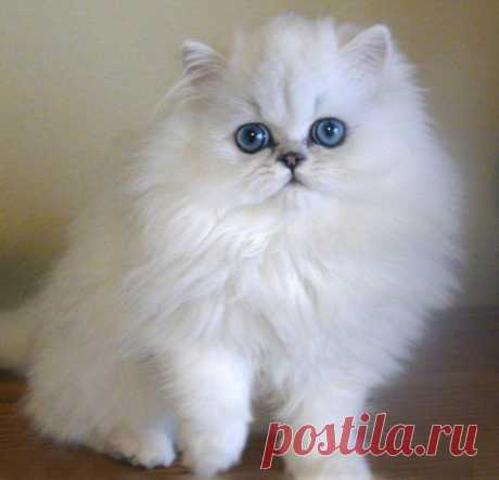 If my fiancé wasn't allergic to cats, this is the kind of cat I would like to have! Persian cat! So adorable!