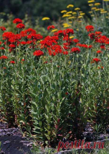 Лихнис халцедонский: описание, выращивание и уход :: SYL.ru