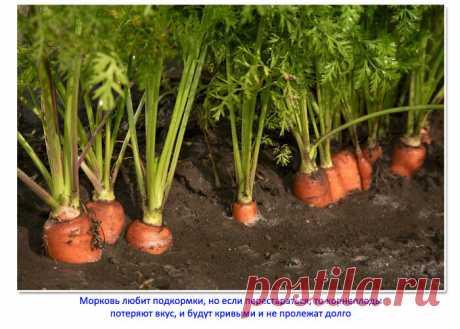 Моя любимая финальная подкормка моркови: плоды наливаются большими, морковь становится сочной и сладкой   Семья из Сызрани   Яндекс Дзен