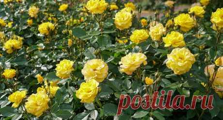 Чем подкормить розы весной? — Ботаничка.ru