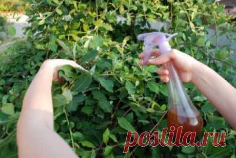 Чистотел избавит ваш огород и сад от плодожорки,тля,листовертки,трипсы, моли и многих других вредителей   Любимая Дача   Яндекс Дзен