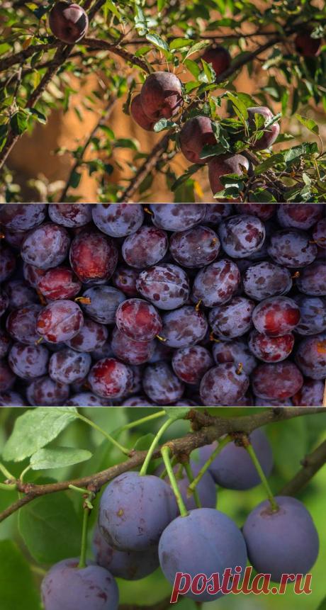 Обрезка сливы осенью: способ ухода за плодовыми деревьями