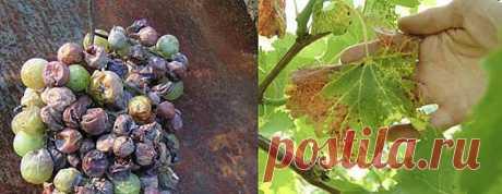 Советы по борьбе с болезнями винограда