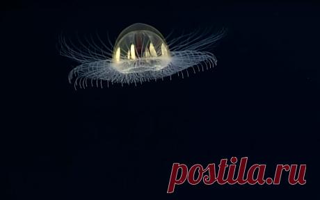В морском заповеднике у островов Самоа учеными впервые замечена необычная медуза, похожая на летающую тарелку или инопланетное существо из научной фантастики.