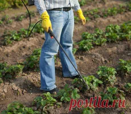 Than to feed up strawberry during fructification   Wild strawberry (Огород.ru)