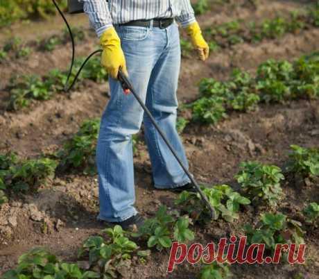 Чем подкормить клубнику во время плодоношения | Земляника (Огород.ru)