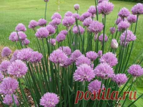 Лук-резанец, или шнитт-лук — полезный красавец - Ботаничка.ru