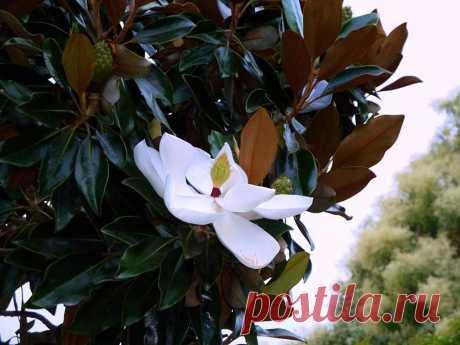 Магнолия крупноцветковая, грандифлора. Огромные белые цветы!