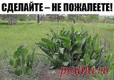 Хрен – единственное растение, способное вытягивать соль через поры кожи.  СДЕЛАЙТЕ – НЕ ПОЖАЛЕЕТЕ!  Избавиться от всей соли, которая накопилась в организме и может привести к солевым болезненным отложениям, помогут листья хрена..  Напоминаю проверенный и безотказный рецепт.  Возьмите свежие крупные листья хрена – 2 шт. Перед сном окуните их с двух сторон кипяток и сразу положите на спину, захватывая шею. Обвяжите тканью. Возможно легкое жжение, но боли нет.  Утром осторожн...