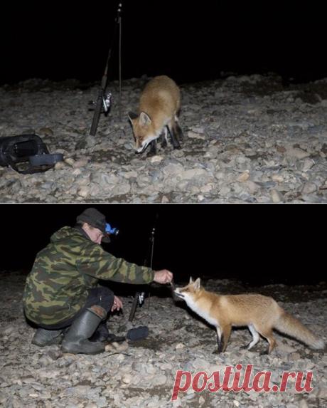 Ночная рыжая гостья на рыбалке. История в фотографиях