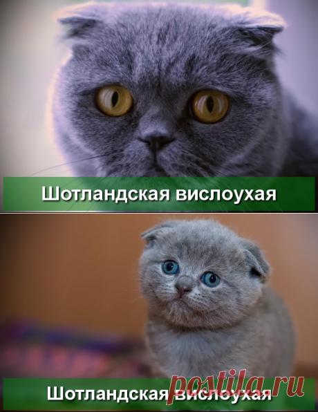 Шотландская вислоухая кошка - описание породы - Про Питомца