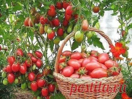 THAT TOMATOES WERE NOT FATTENED, INCREASED MAGNIFICENT GREENS TO THE DETRIMENT OF THE HARVEST, WE APPLY FIVE RECEPTIONS \u000d\u000a\u000d\u000a1. It is impossible to prepare in the greenhouse too rich nutritious soil for this culture. To bring (even since fall) manure or to feed up a feltwort about the vegetation period. \u000d\u000a\u000d\u000a2. You should not water tomatoes in the first 2-3 weeks after the landing (which is especially made in early terms). It is quite enough water poured in holes for normal rooting of plants. And small restriction with watering tolite...