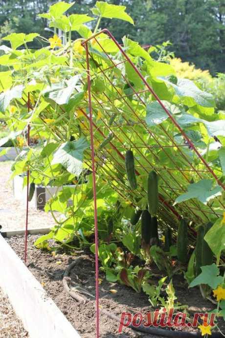 Отличная идея для выращивания огурцов... Отличная идея для выращивания огурцов