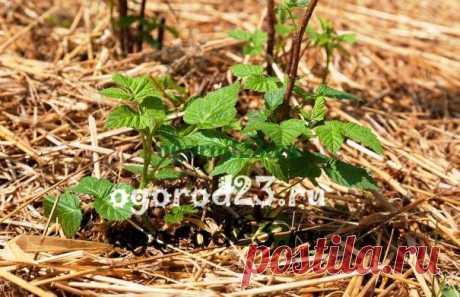 Как ухаживать за малиной: мульчирование, обработка почвы от сорняков - Садоводка