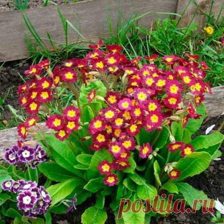Многолетний садовый цветок Примула (Primula). Семейство: первоцветные (Primulaceae)  Синонимы: первоцвет  Травянистый многолетник ранневесеннего цветения. Листья розеточные, на черешках или сидячие. Цветоносы высотой от 5 до 30 см. Цветки простые или махровые, разнообразной окраски, в зонтиковидных, головчатых или мутовчатых соцветиях. Цветет в апреле - мае.  Основные виды П.весенняя (P.veris) - цветки разнообразной окраски собраны в зонтик на цветоносе.