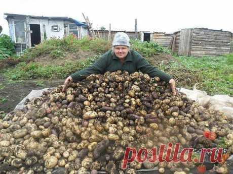 Хотите урожай картофеля в 1,5 раза больше обычного? ЧЕСНОЧНАЯ БОЛТУШКА ВАМ В ПОМОЩЬ | 6 соток