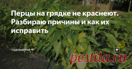 Перцы на грядке не краснеют. Разбираю причины и как их исправить   Садовый рай 🌱   Яндекс Дзен