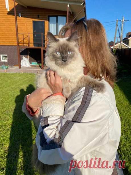 Взяли котёнка, вырос «слонёнок»: изменения невского маскарадного кота от месяца до восьми   Уши-бабочки   Яндекс Дзен