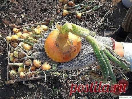 Секреты выращивания крупного лука — Садоводка