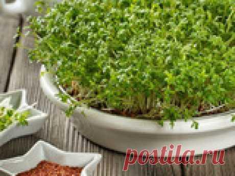 Микрозелень: как вырастить и использовать Растущая популярность микрозелени основывается на доступности и сверх полезности. Продукт даёт мощный оздоровительный и омолаживающий эффект. Молодые ростки легко получить дома, важно знать какие семена использовать и как правильно проращивать.
