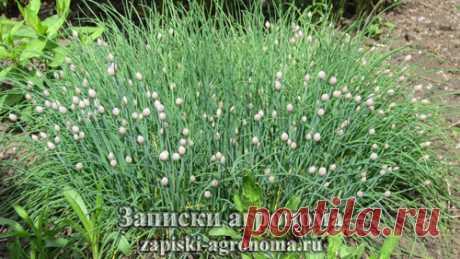 Выращивание шнитт-лука в открытом грунте • zapiski-agronoma.ru