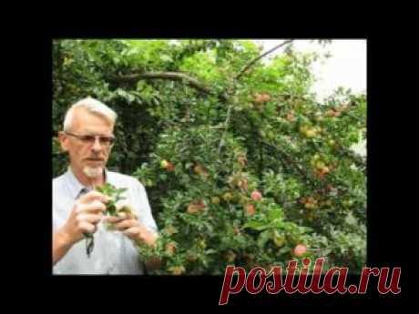 Как размножать плодовые деревья. - Садоводка