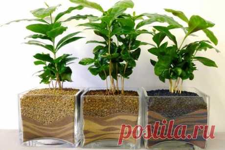 El poso de café, como el abono: ¿para que plantas?